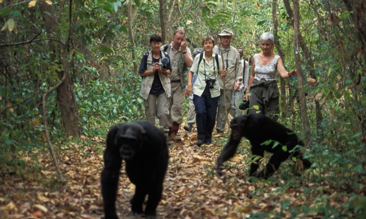 Chimpanzee Tracking - Queen Elizabeth National Park